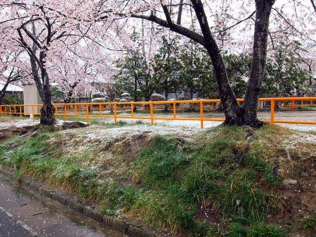27_SAKURA.JPG